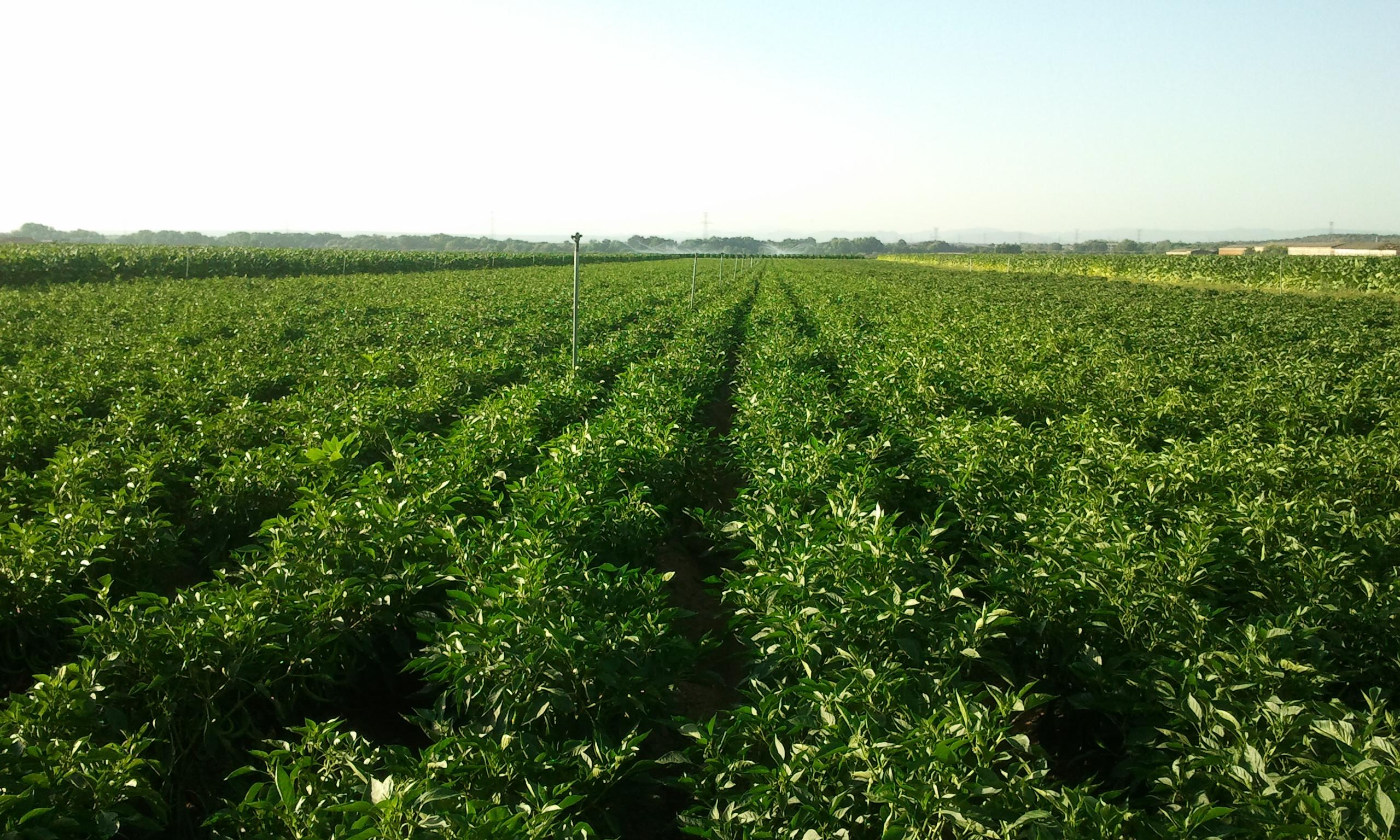 Curso para mejorar la eficiencia del cultivo de pimiento for Cultivo pimiento huerto urbano